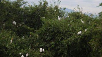 Burung-burung bertengger di pepohonan, di kampung Blekok, burung ini berdampingan dengan warga sekitar. (Isma Dwi Ardiyanti/SUAKA)